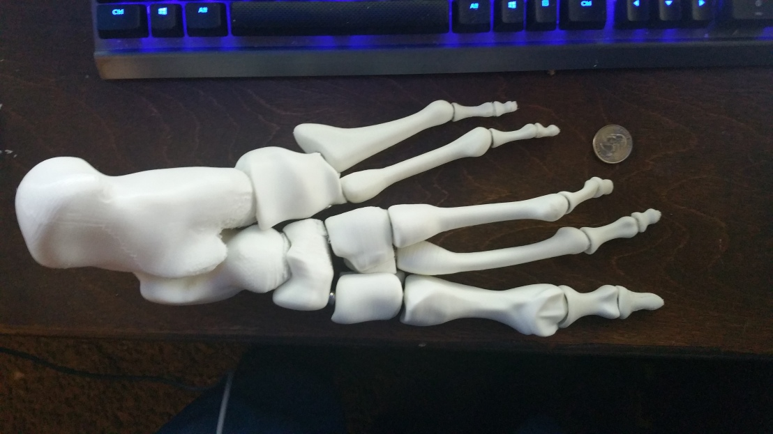 Magnetic Foot Bone Anatomical Model